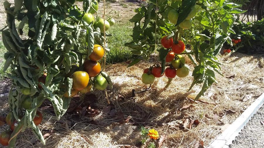 tomatoes01.jpg
